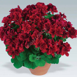 Пеларгония - Pelargonium Zon P Tan D Red 510 27