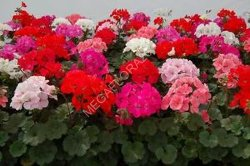 Пеларгония - Pelargonium Gemengd Royal Zonale13 30 Королевская