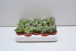 Литопсы - Lithops (single) Spp. 505 6