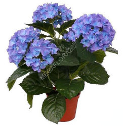 Гортензия - Hydrangea Macr. Early Blue 13 30
