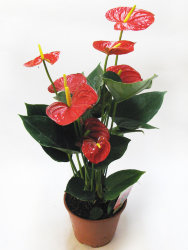 Антуриум - Anthurium An Royal Champ 12 45