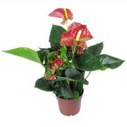 Антуриум - Anthurium An Colorado Pink 14 50