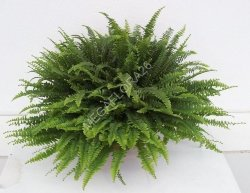 Папоротник - Nephrolepis Green Lady 17 50