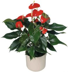 Антуриум  - Anthurium Diamond Red 9 30
